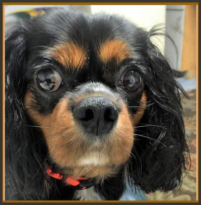 Champion our pet Prince Cavalier King Charles Spaniel